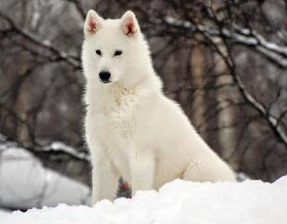 Lobo Animal Blanco